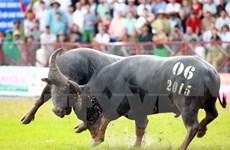 Concluye Festival de lucha de búfalos Do Son 2015