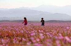 Chile: Flores brotan en el desierto más seco del mundo