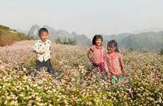"""""""Paraíso de flores de alforfón"""" en Vietnam ve alud de turistas"""