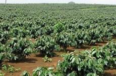 Caficultores vietnamitas y la cuestión de mejorar calidad de productos