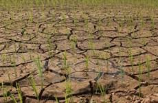 Producción de arroz en Sudeste Asia sufre impactos por El Nino