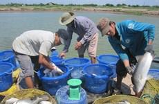 Ca Mau tratará de obtener 550 mil toneladas de producción acuícola