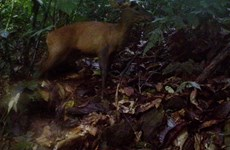 Captan fotos en Vietnam de pareja de muntiacos en peligro de extinción