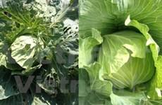 Exportación de vegetales y frutas vietnamitas alcanza fuerte crecimiento