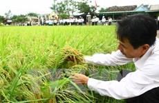 Se reducirán cien mil hectáreas del cultivo de arroz en 2016
