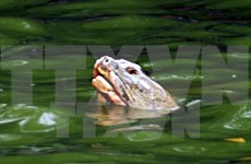 Cuerpo de famosa tortuga de Lago Hoan Kiem será conservado en museo