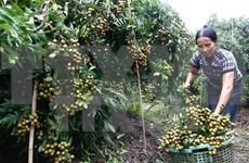 Frutas vietnamitas penetran en mercados de estrictos estándares