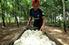 Ligera reducción de producción de caucho de Indonesia