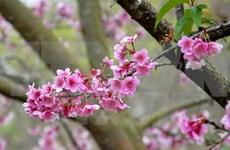 Florecerán cerezos japoneses en ciudad norvietnamita de Ha Long