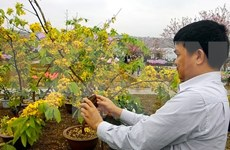 Inauguran Festival de Flores de Cerezo y Ochna de Yen Tu