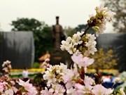 Florecen los cerezos en el centro de Hanoi
