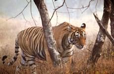 Tigres en peligro de extinción en Vietnam