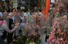 Provincia vietnamita se embellece con flores de cerezo de Japón