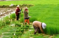 Tailandia reducirá zonas de cultivo de arroz para la próxima cosecha