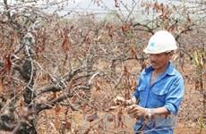 Severa sequía amenaza cultivo de café en las provincias altiplanas vietnamitas