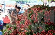 Provincias de Vietnam y China buscan facilitar la exportación de lichi