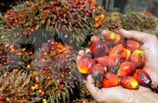 Suspende Indonesia apertura de nuevas granjas palmeras
