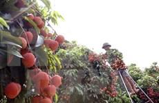 Plan para promover lichi vietnamita en mercados potenciales