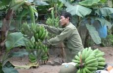 Desarrollo del cultivo de plátano tabasco
