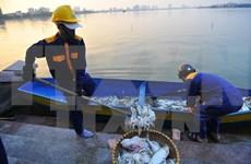 Muerte masiva de peces en lago de Hanoi por falta de oxígeno en agua