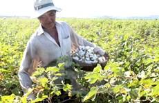 Vietnam suspende temporalmente importación de algodón en bruto de Ghana
