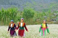 Interesados visitantes en festival de flores de alforfón en provincia de Vietnam