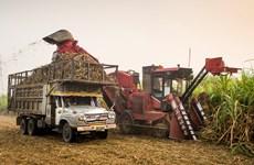 Tailandia: Producción de caña de azúcar disminuye debido a la sequía
