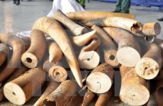 Aduanas descubren más de 700 kilogramos de colmillos de elefantes