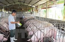 JICA asiste a la conservación de razas autóctonas de cerdo de Vietnam