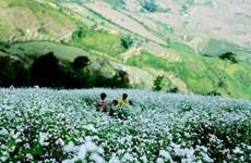Flores de alforfón embellecen el paso de montaña de Pha Din