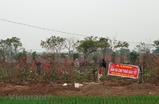 Cultivadores de flores de melocotón de Vietnam cosechan fruto de sus esfuerzos en ocasión del Tet
