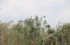 Cigüeñas de pico abierto asiáticas se reúnen en el bosque de Gao Giong en Dong Thap