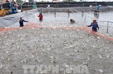 Provincia vietnamita emite códigos de identificación para establecimientos de cultivo de camarón