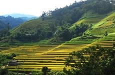 Recorren arrozales patrimoniales de Hoang Su Phi a través de la pantalla