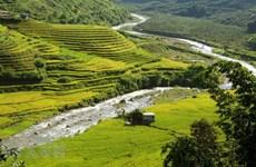 Admire la belleza de terrazas de arroz doradas en provincia vietnamita