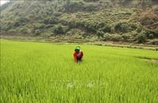 Provincia vietnamita busca desarrollar marca de su arroz glutinoso