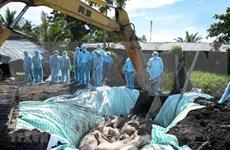 Sacrificaron en Hanoi más del 20 por ciento del rebaño porcino por epidemia