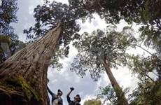 (Video) Impresiona bosque vietnamita de Fokienias por sus figuras peculiares