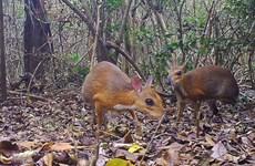(Televisión) Captan en Vietnam imágenes de diminuto mamífero que se creía extinguido