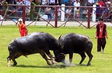 (Video) Peculiar fiesta de pelea de búfalos, patrimonio intangible de Vietnam