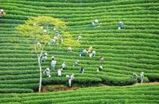 [Video] Exploran la zona de té de cerca de 100 años en Da Lat