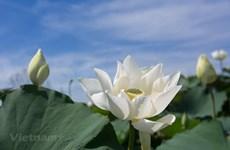 Flor de loto blanco capta la atención de hanoyenses