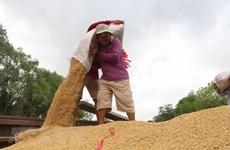 (Televisión) Vietnam puede convertirse en el primer exportador mundial de arroz