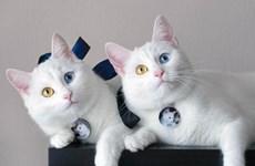(Video) Gatos benditos en el primer concurso de gato en Vietnam