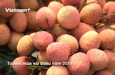 Provincia vietnamita de Bac Giang prepara cosecha de lichi ante el COVID-19