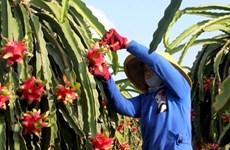 Cultivo de pitahaya mejorará vida de minorías étnicas en provincia vietnamita de Son La