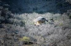 La primevera hace de la meseta Moc Chau una pintura colorida
