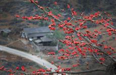 Temporada de algodoneros rojos en la meseta rocosa de Ha Giang en Vietnam