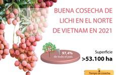 Buena cosecha de lichi en el norte de Vietnam