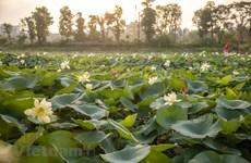 Hermoso lago de lotos con casi 170 especies únicas en Hanoi